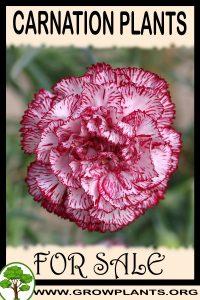 Carnation plants for sale