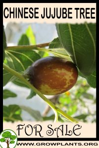 Chinese jujube tree for sale