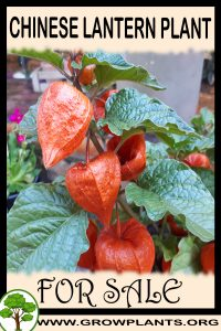 Chinese lantern plant for sale