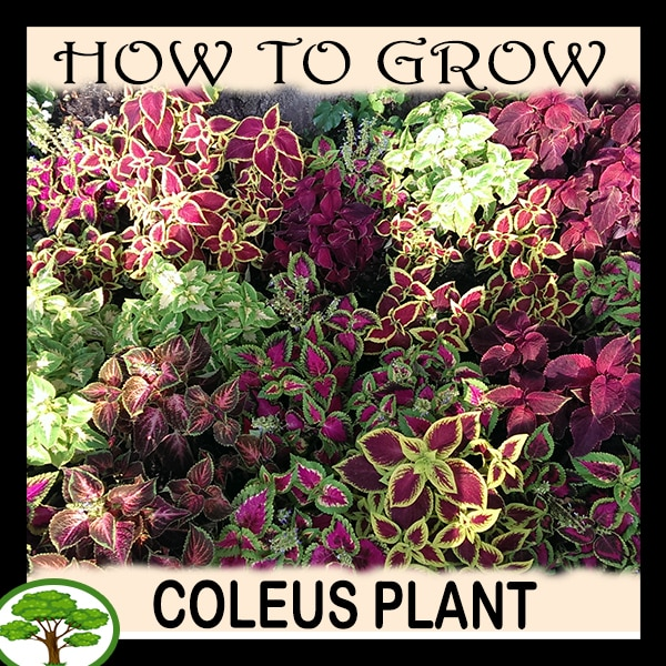 Coleus plant - all need to know
