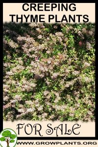 Creeping thyme plants for sale