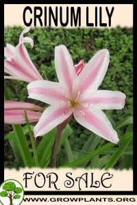 Crinum lily for sale