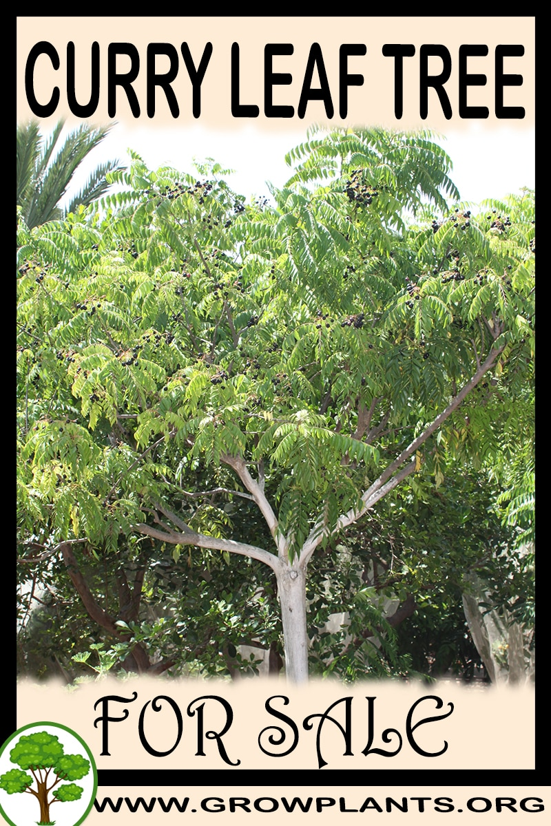 Curry leaf tree for sale