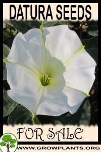 Datura seeds for sale