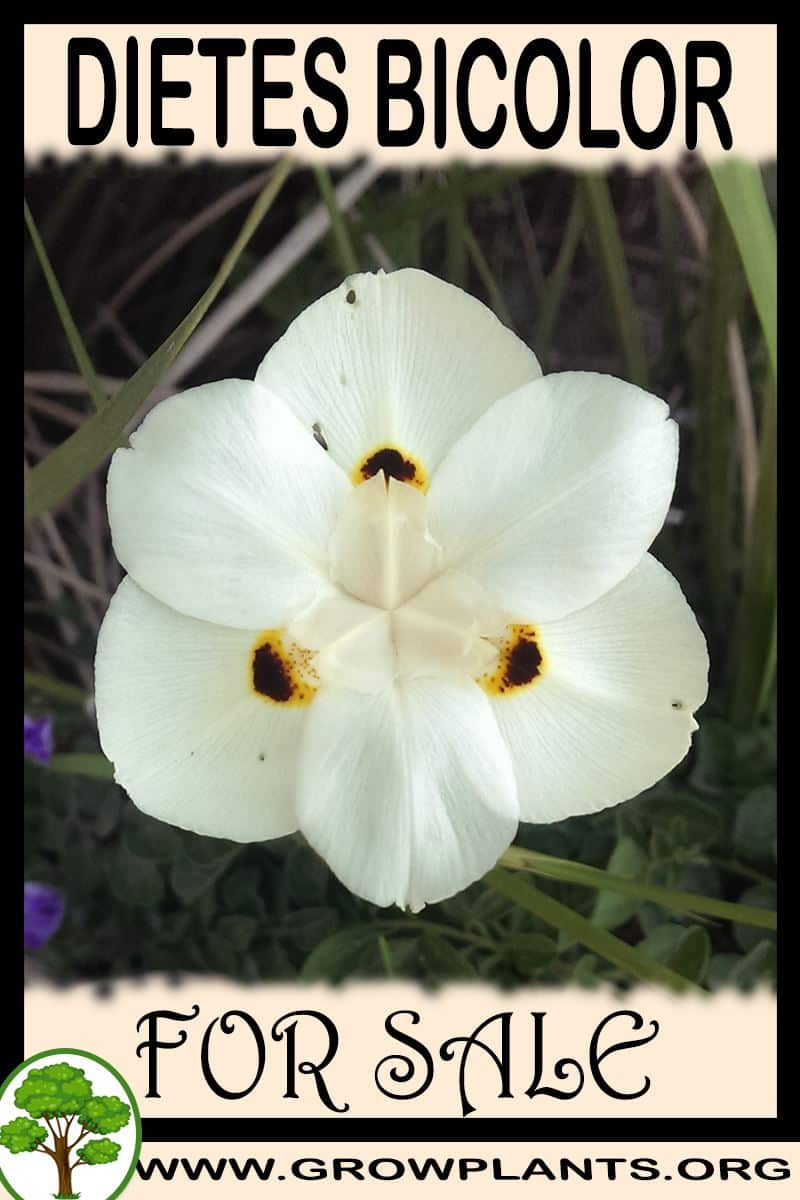 Dietes bicolor for sale