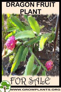 Dragon fruit plant for sale