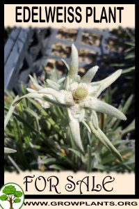 Edelweiss plant for sale