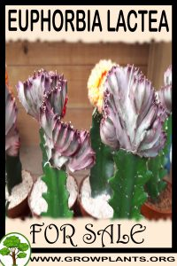 Euphorbia lactea for sale