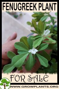Fenugreek plant for sale