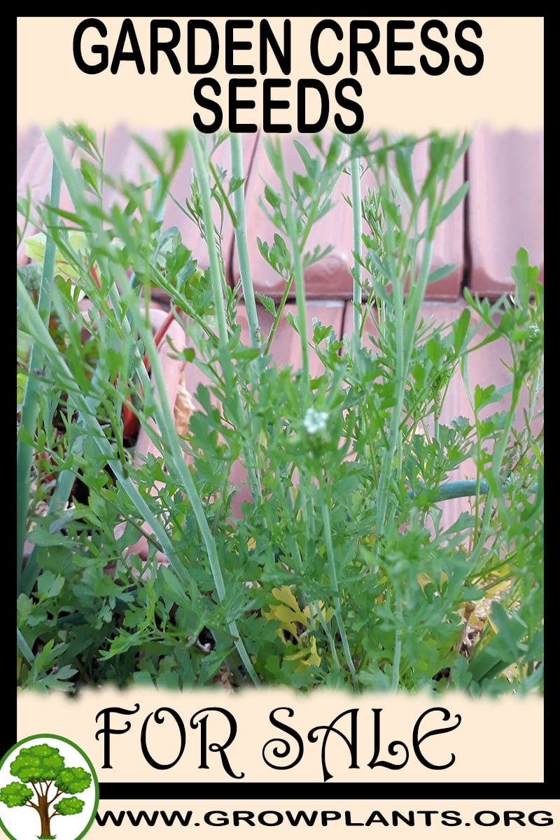 Garden cress seeds for sale