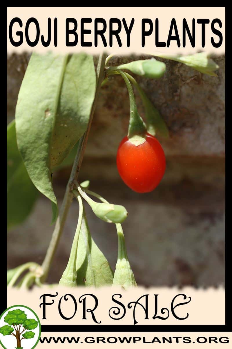 Goji Berry Plants For Sale Grow Plants