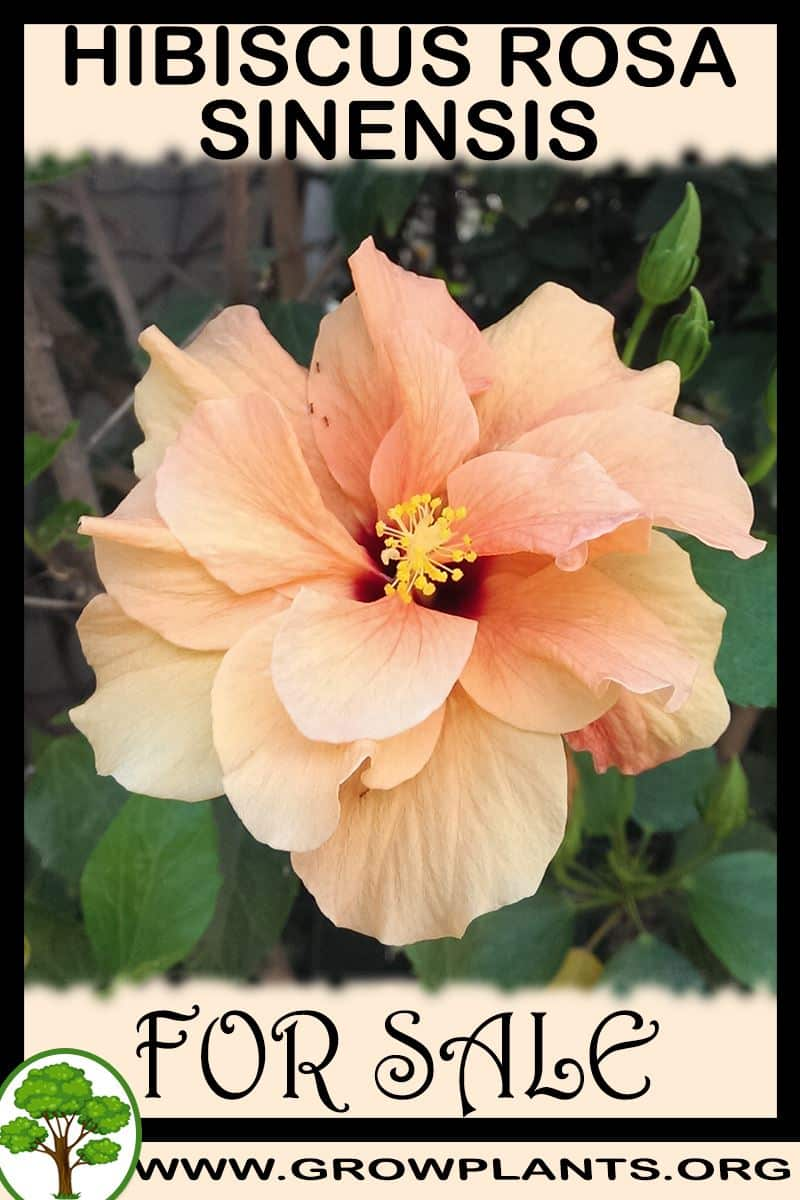 Hibiscus rosa sinensis for sale