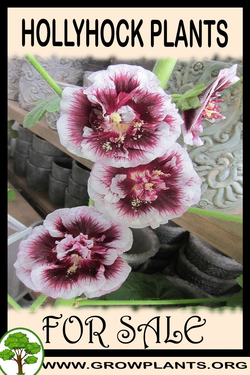 Hollyhock plants for sale