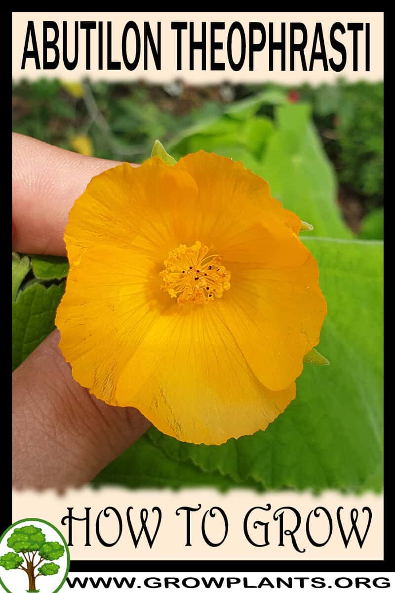 How to grow Abutilon theophrasti