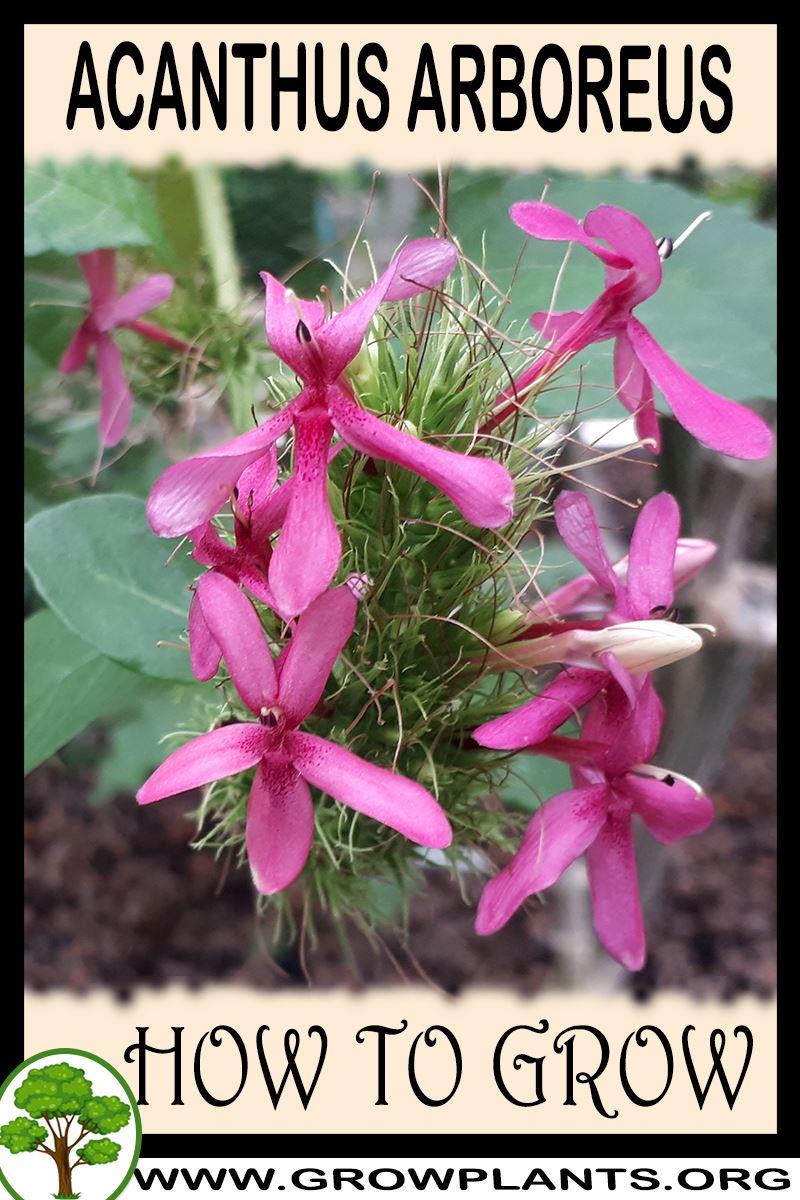 How to grow Acanthus arboreus