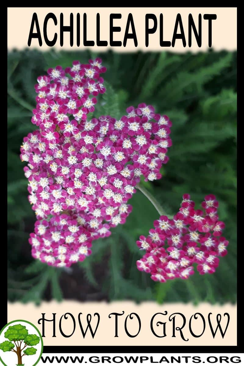 How to grow Achillea