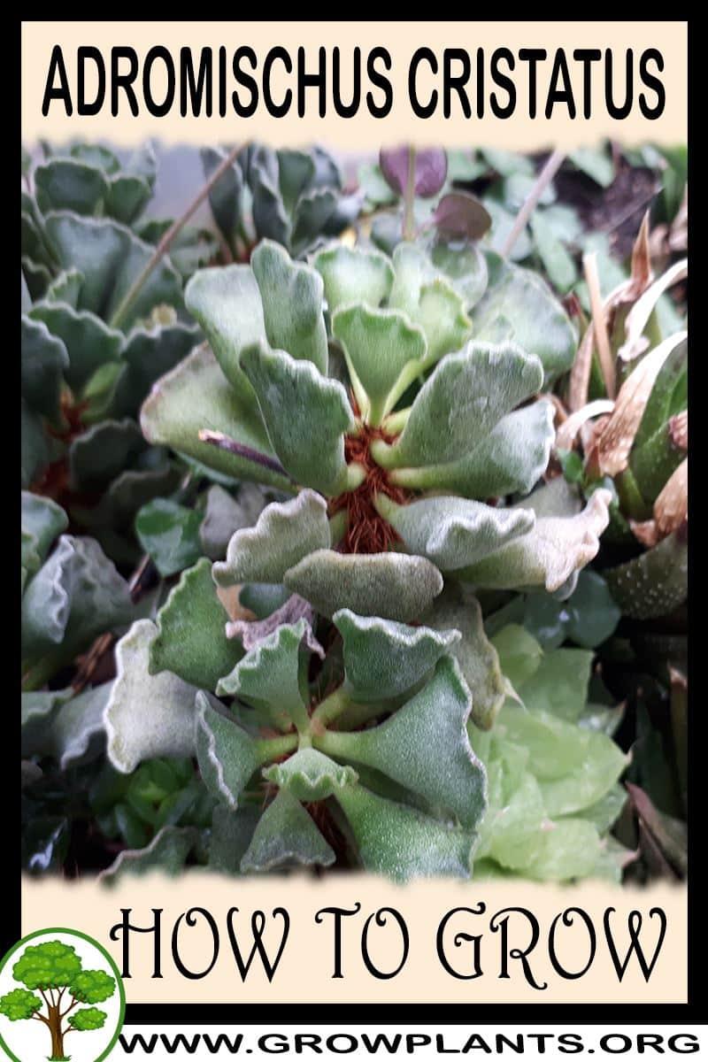 How to grow Adromischus cristatus
