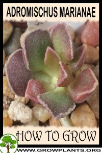How to grow Adromischus marianae