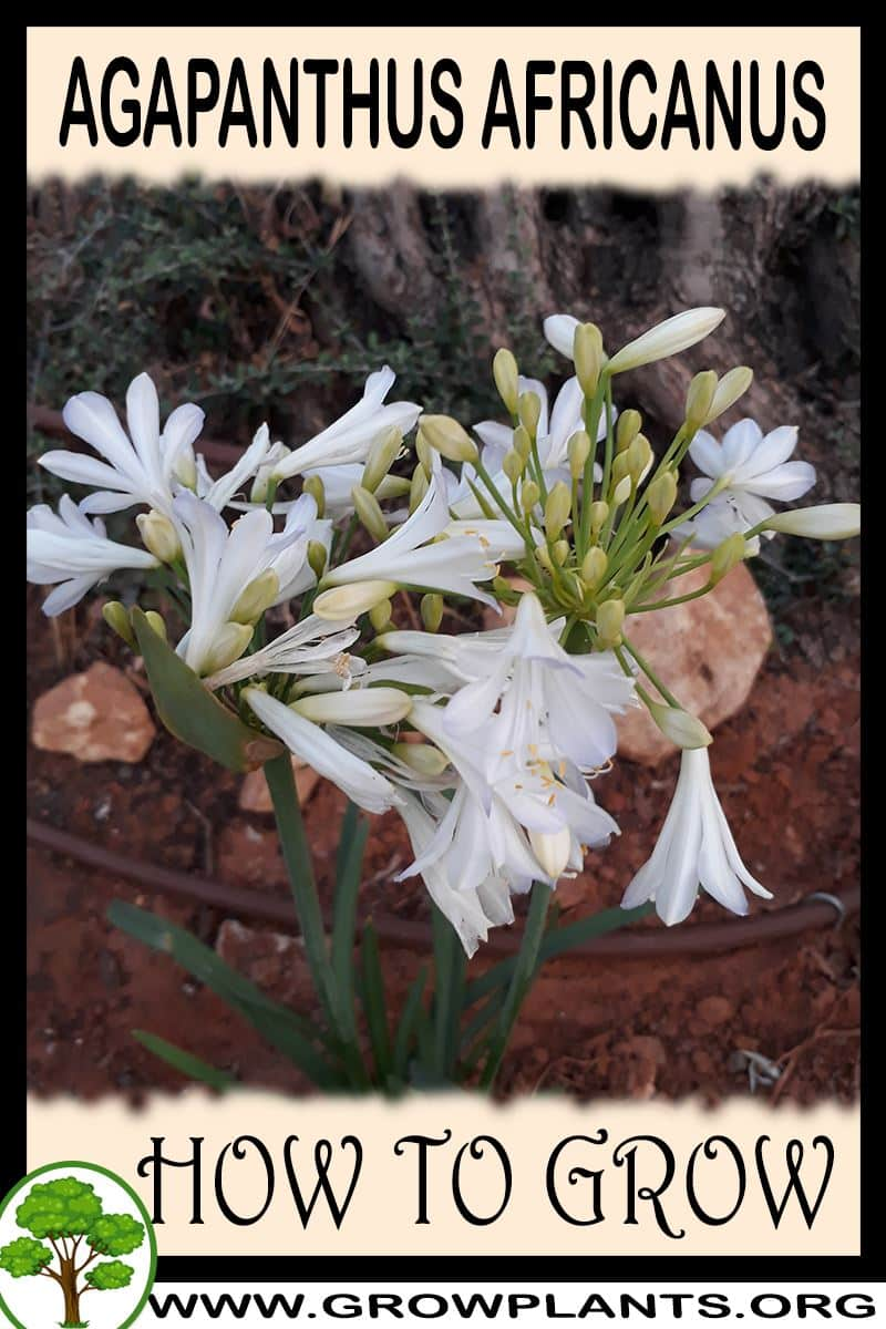 How to grow Agapanthus africanus