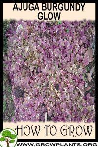How to grow Ajuga burgundy glow
