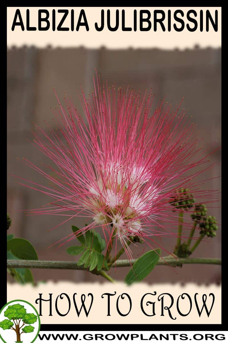 How to grow Albizia julibrissin