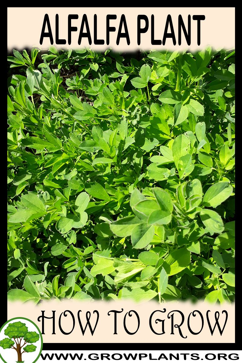 How to grow Alfalfa plant
