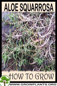 How to grow Aloe squarrosa
