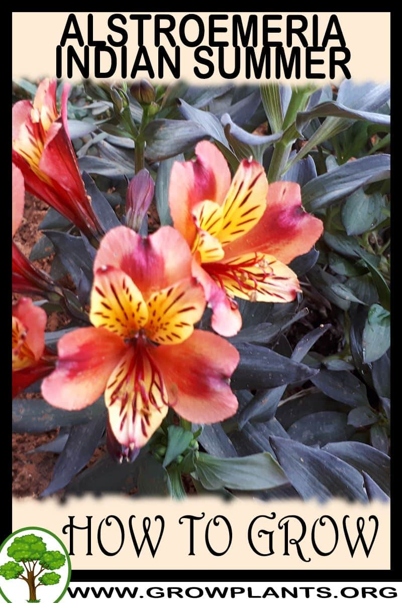 How to grow Alstroemeria indian summer