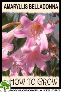 How to grow Amaryllis belladonna