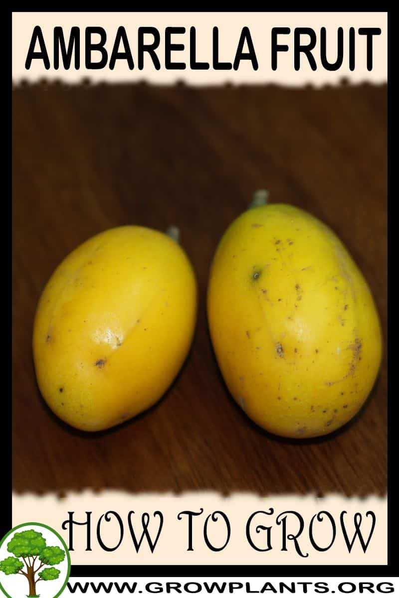 How to grow Ambarella fruit