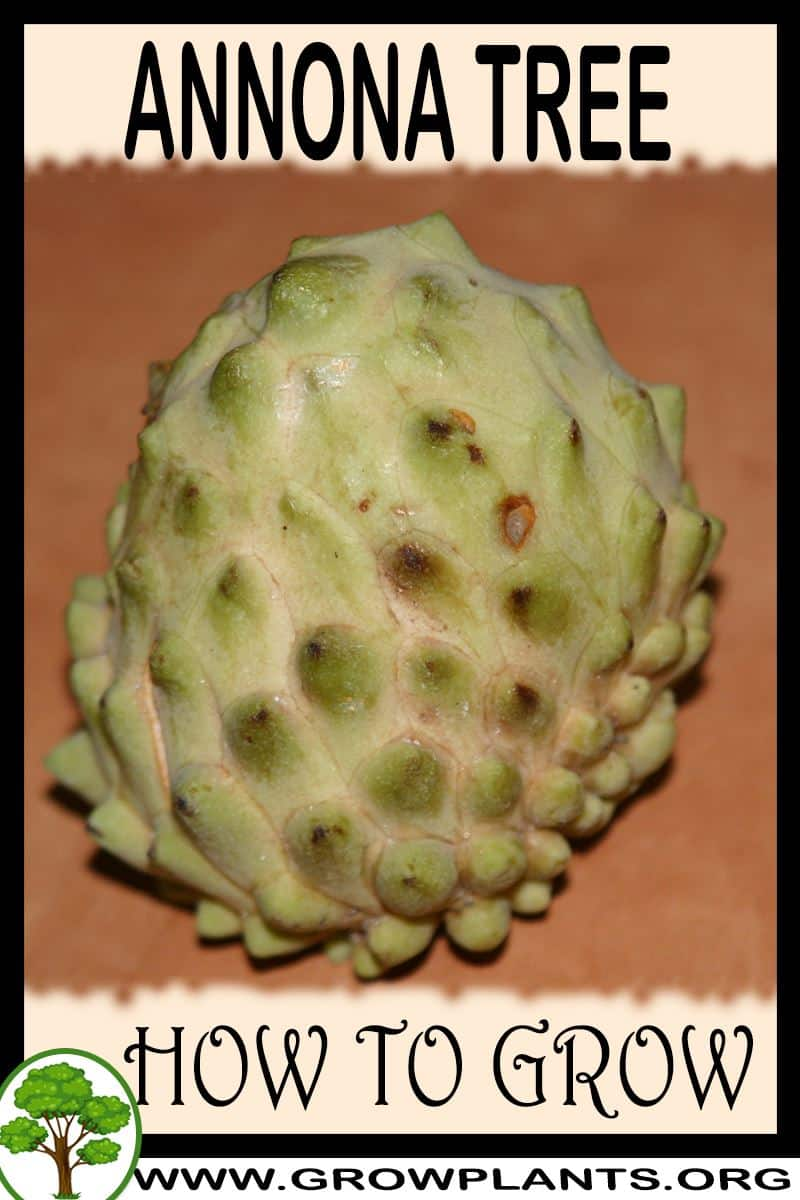 How to grow Annona