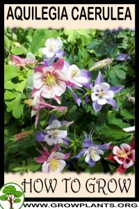 How to grow Aquilegia caerulea