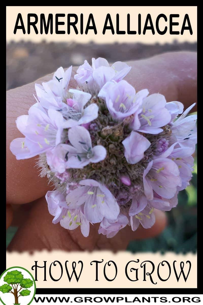 How to grow Armeria alliacea