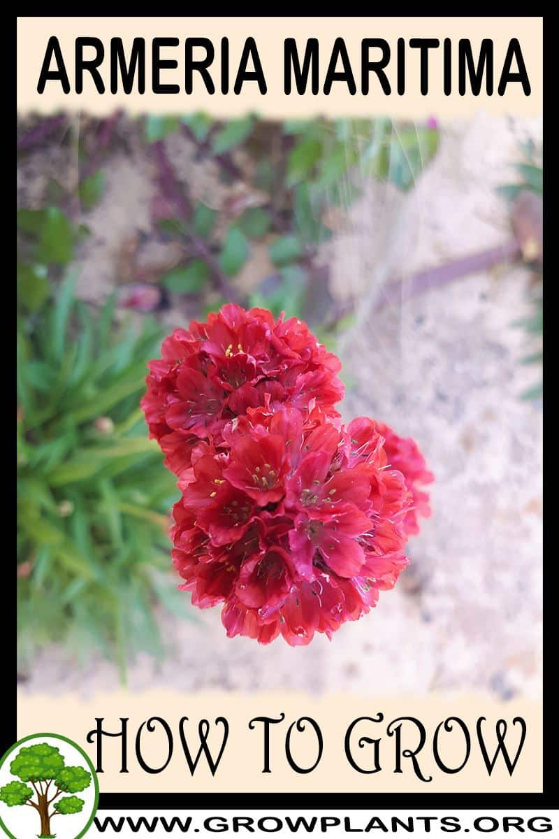 How to grow Armeria maritima