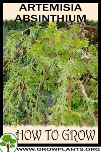 How to grow Artemisia absinthium