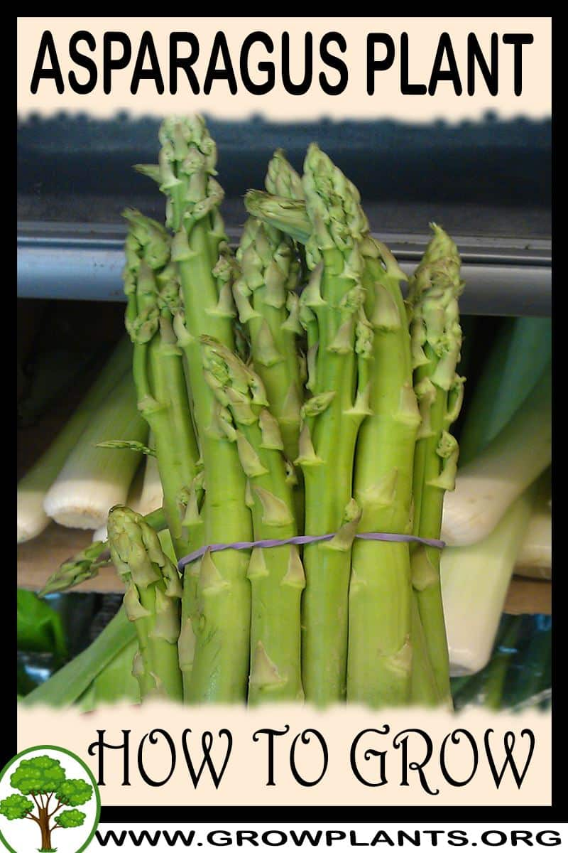 How to grow Asparagus plant