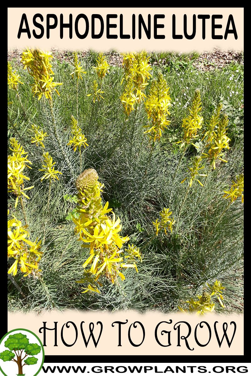 How to grow Asphodeline lutea