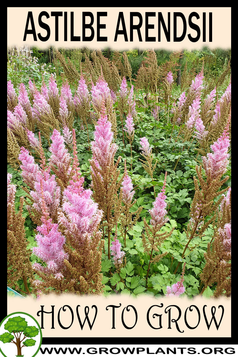 How to grow Astilbe arendsii