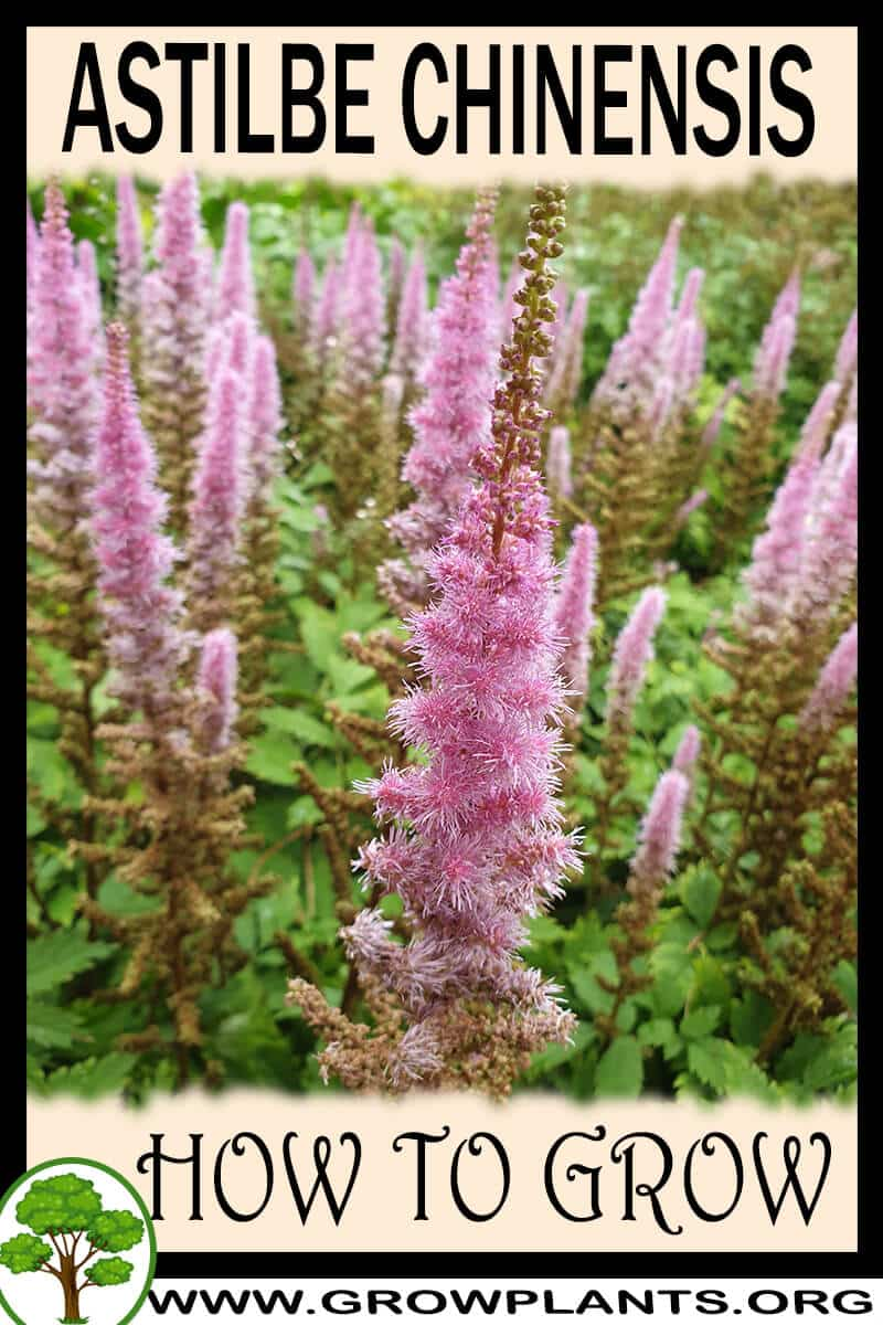 How to grow Astilbe chinensis
