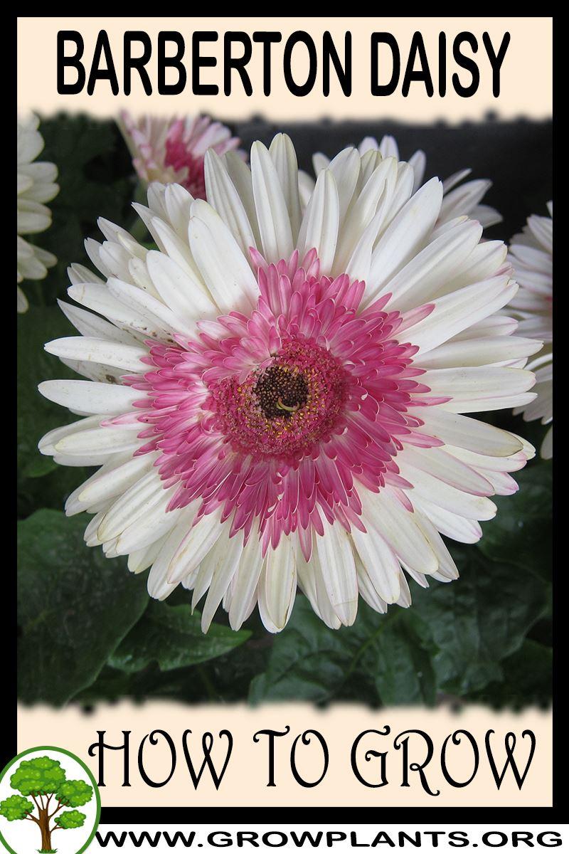 How to grow Barberton daisy