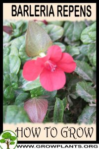 How to grow Barleria repens