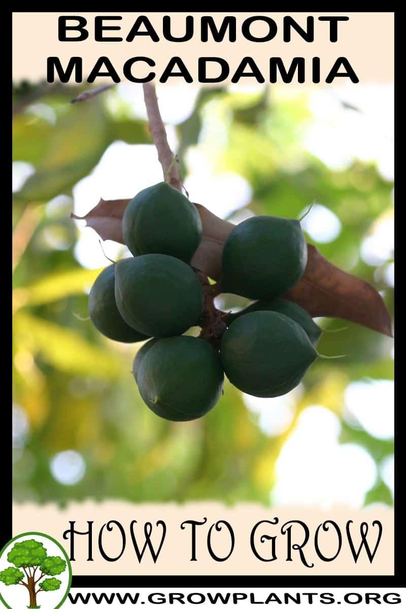 How to grow Beaumont macadamia