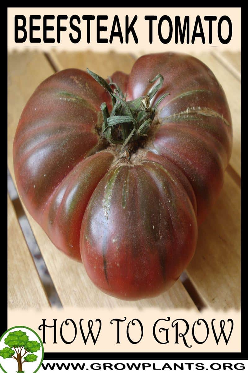 How to grow Beefsteak tomato