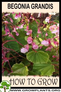 How to grow Begonia grandis