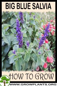 How to grow Big Blue Salvia
