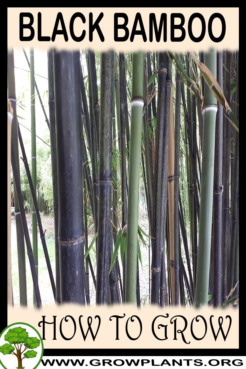 How to grow Black bamboo