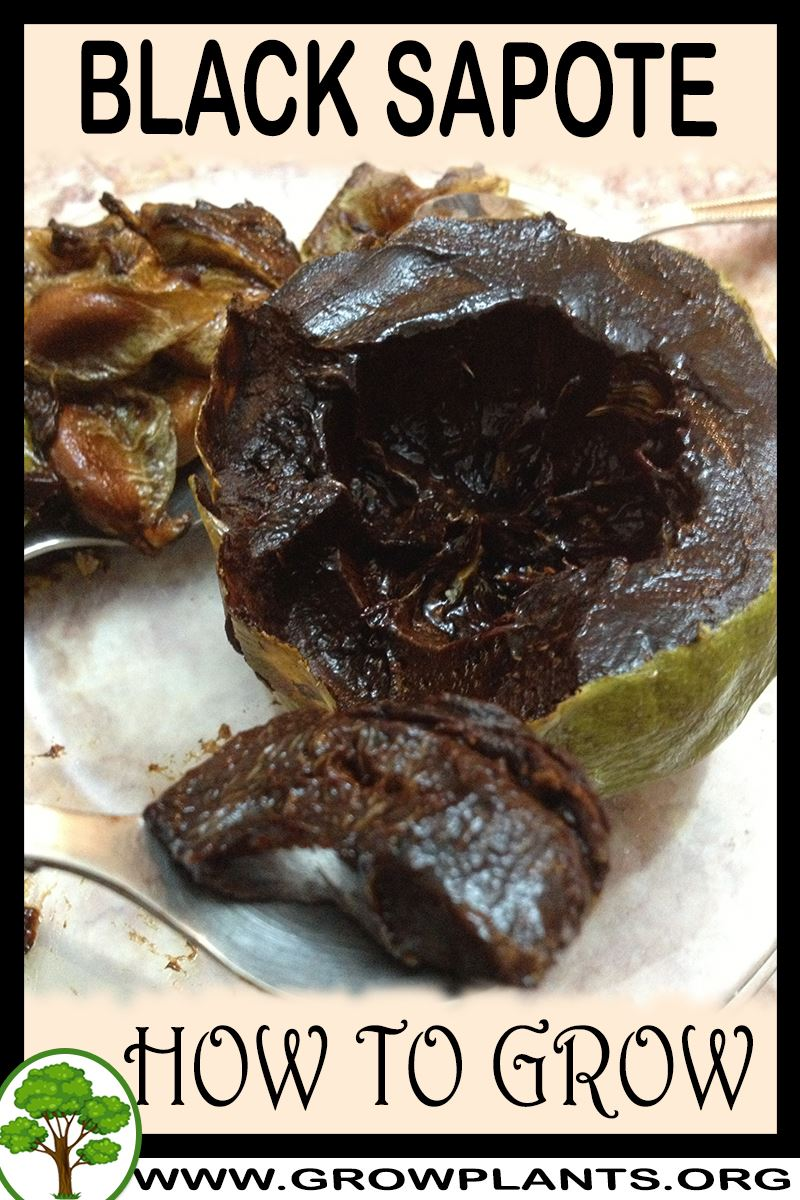 How to grow Black sapote