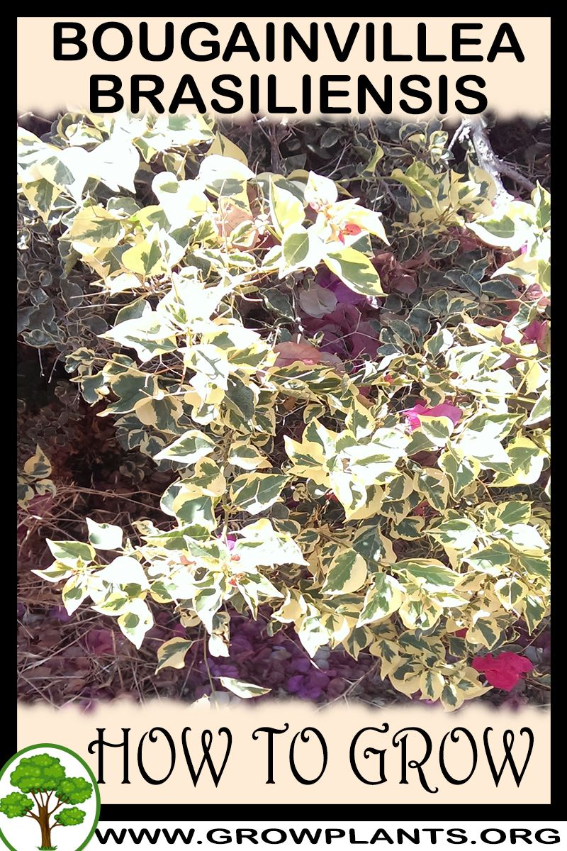How to grow Bougainvillea brasiliensis