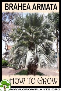 How to grow Brahea armata