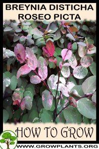 How to grow Breynia disticha Roseo picta